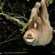 exotic endagered rare animals of North America and South America the two-toed-sloth